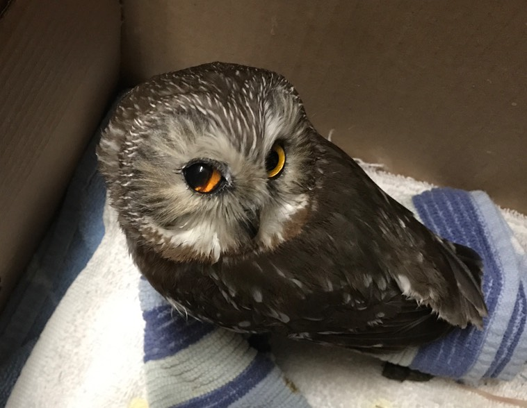 Northern Saw-whet Owl, Mission